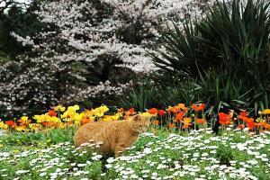 桜猫1.jpg