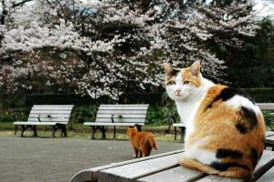 桜猫:桜を背景にベンチに座る日比谷公園のノラ三毛猫