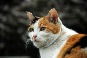 日比谷公園のノラ三毛猫