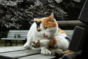 日比谷公園のノラ三毛猫がベンチの上で毛づくろい