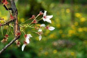 猫がいればボケるけど、桜の終りの季節が表現されるので、これでもOKと思ったショットです。イメージトレーニングです。