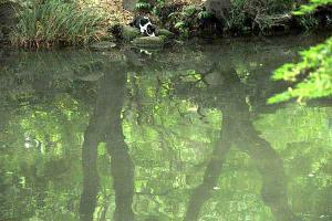 池の水を飲んでいる猫(小さい)