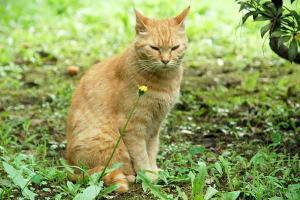 ブタナ(豚菜)猫