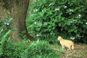 アジサイ猫1