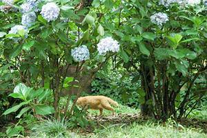 アジサイ猫4