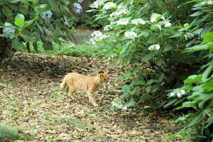 アジサイ猫16-4