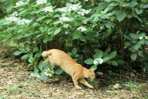 アジサイ猫16-5