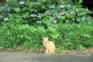 アジサイ猫16-1