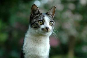 若いキジトラ猫
