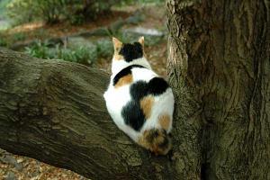 三毛猫の背中 日比谷公園 calico cat named Sakura
