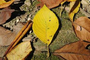 桜の黄色い落ち葉
