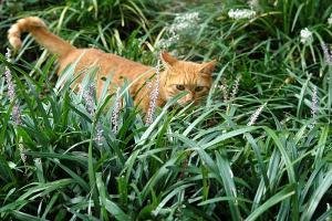 ヤブランの中の鍵尻尾茶トラ猫