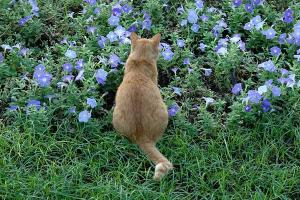 紫のペチュニアと後ろ姿の茶トラ猫