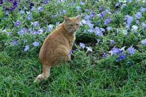 紫のペチュニアと振り向く茶トラ猫