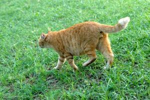 尻尾の先が白い茶トラ猫
