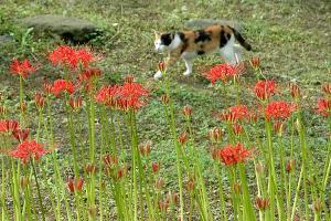 日比谷公園の彼岸花と三毛猫(猫の名所)