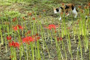 彼岸花と三毛猫