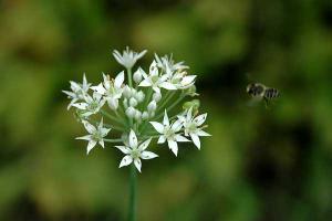 ニラ(ガーリックチャイブス)の花