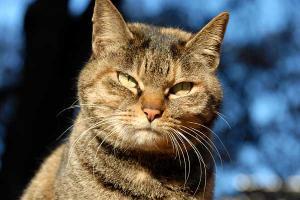 サビトラ猫の面構え 強そう