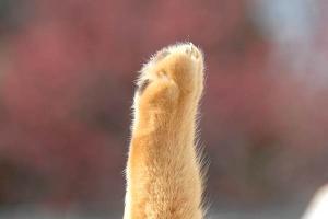 これも桜猫: カンヒザクラ(寒緋桜)の紅と猫の手 cat paw
