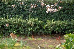 ぼんやり茶トラ猫と咲き始めの桜