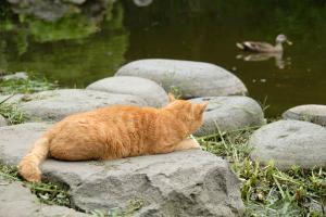 鴨(カモ)を見ている猫 日比谷公園