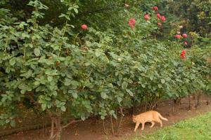 薔薇(友禅)と猫
