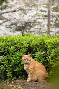桜猫(茶トラ猫)@日比谷公園