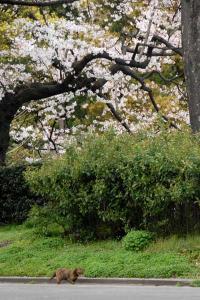 桜猫(サビ猫)