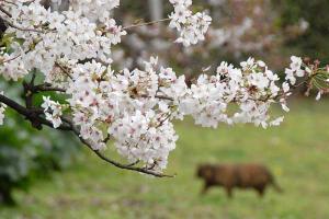 桜猫(サビ猫)@日比谷公園