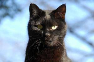 訝しげな顔の猫(黒猫)
