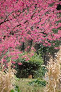 寒緋桜猫(茶トラ猫)@日比谷公園