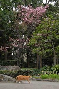 陽光桜と猫@日比谷公園