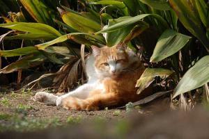 日比谷公園の茶白猫