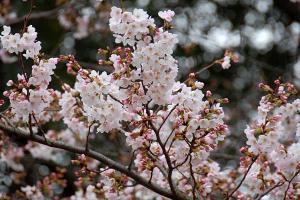早咲きの桜@日比谷公園