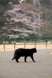 桜猫(黒猫)@日比谷公園