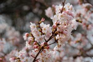 桜@日比谷公園