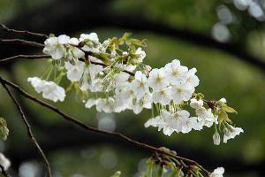 白っぽい桜@日比谷公園