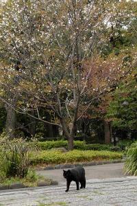 ちょっと変わった桜で、桜猫(黒猫)@日比谷公園