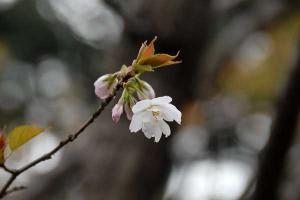 ちょっと変わった桜@日比谷公園