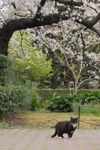桜猫(タキシードホワイトソックス猫)@日比谷公園