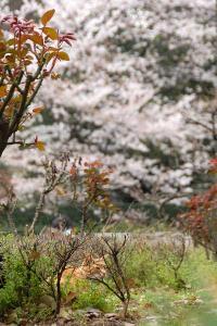 ひそむ桜猫(茶トラ猫)@日比谷公園