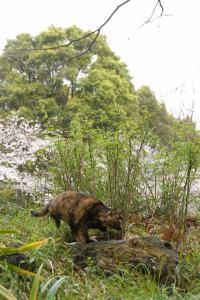 ちょっとさえない桜猫(サビ猫)