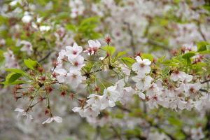 散り始めた別の桜@日比谷公園