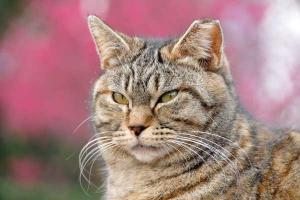 さくら耳キジトラ、カンヒザクラ猫@日比谷公園
