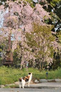 枝垂桜を見る三毛猫 Sakura Neko (Cat)