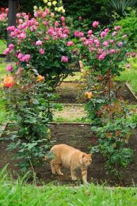 薔薇 ブルー・パーフューム猫