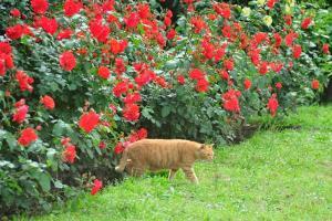 薔薇 花房猫