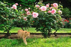 バラ(薔薇)猫