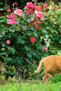 ピンクパンサー猫